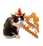 実写!ハチワレ猫のハロウィンスタンプ(個別スタンプ:1)