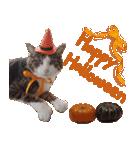 実写!ハチワレ猫のハロウィンスタンプ(個別スタンプ:2)
