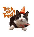 実写!ハチワレ猫のハロウィンスタンプ(個別スタンプ:4)