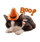 実写!ハチワレ猫のハロウィンスタンプ(個別スタンプ:5)