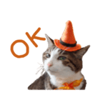 実写!ハチワレ猫のハロウィンスタンプ(個別スタンプ:10)