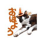 実写!ハチワレ猫のハロウィンスタンプ(個別スタンプ:11)