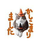 実写!ハチワレ猫のハロウィンスタンプ(個別スタンプ:16)