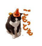 実写!ハチワレ猫のハロウィンスタンプ(個別スタンプ:17)