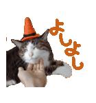 実写!ハチワレ猫のハロウィンスタンプ(個別スタンプ:19)
