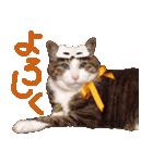 実写!ハチワレ猫のハロウィンスタンプ(個別スタンプ:20)