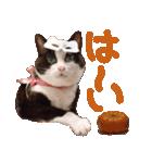 実写!ハチワレ猫のハロウィンスタンプ(個別スタンプ:23)