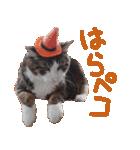 実写!ハチワレ猫のハロウィンスタンプ(個別スタンプ:24)