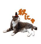 実写!ハチワレ猫のハロウィンスタンプ(個別スタンプ:25)
