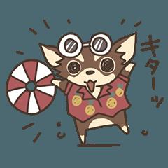 チワワ(チョコタン)のマナちゃん【夏】