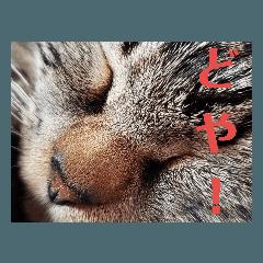 キジトラ猫の日常スタンプ