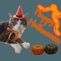 実写!ハチワレ猫のハロウィンスタンプ