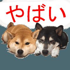 しゃべる柴犬(日常会話編3)