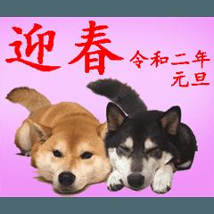 【期間限定】動く柴犬令和2年新年ご挨拶編